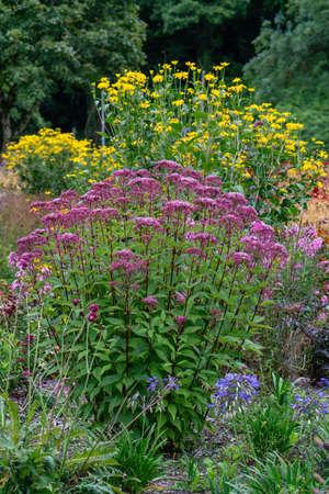Eupatorium maculatum or Joe Pye weed 'Gateway' in garden border