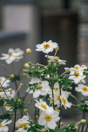 Japanese Anemone flower white blossoms with buds. Close view. Stock Photo