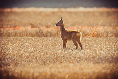 a late summer day. roe deer and her cild. taken in sweden