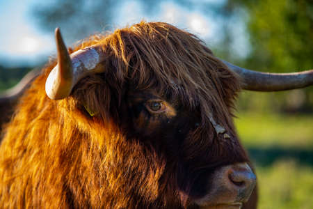 highlander cow on a field. cute and big with big horns and long hair.