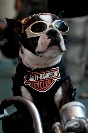 San Diego Comic Con 21 a 24 julio, 2011. La convención más grande del mundo de su clase con los medios de comunicación, películas, cómics, anime, animación, videojuegos y mucho más! Foto de Harley Davidson del perro adoptado el 23 de julio de 2011.