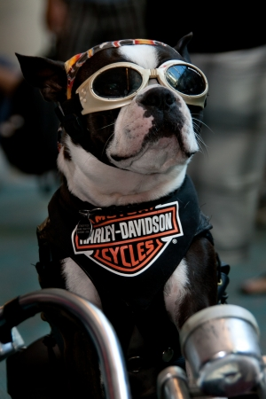 con: San Diego Comic Con July 21-24, 2011. The world�s largest convention of its kind featuring media, movies, comic books, anime, entertainment, video games and more! Photo of Harley Davidson dog taken on July 23rd, 2011.