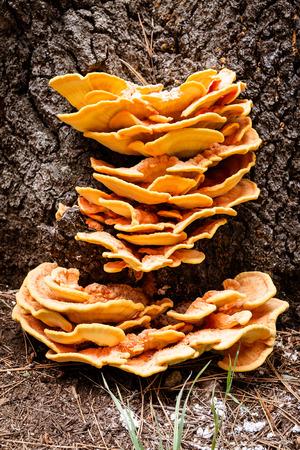 sulfur: Sulfur fungus