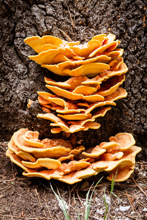 saprophyte: Sulfur fungus