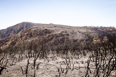 Charred remains of trees on a mountainside after a forest fire photo