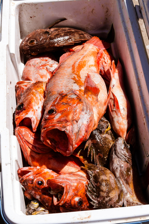 Cooler full of the catch of the day photo