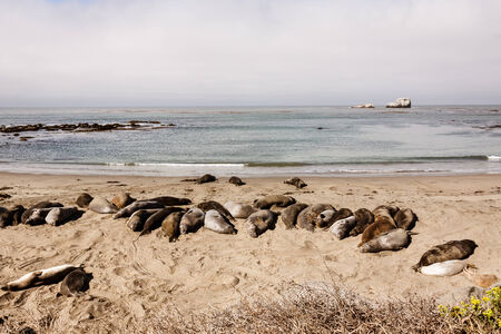central california: Group of Elephant Seals on the Central California coast