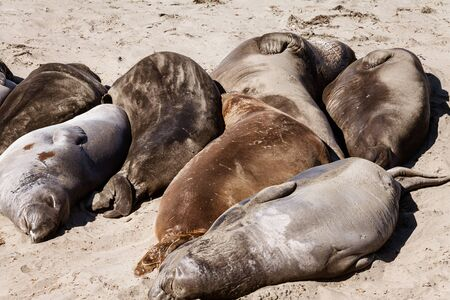 Group of Elephant Seals on the Central California coast
