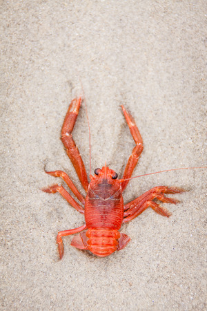 Red tuna crab washed up on sandy beach.