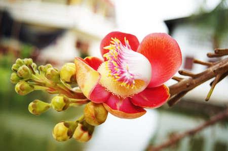 Salavan flowers is one of symbol of Buddhism Stock Photo