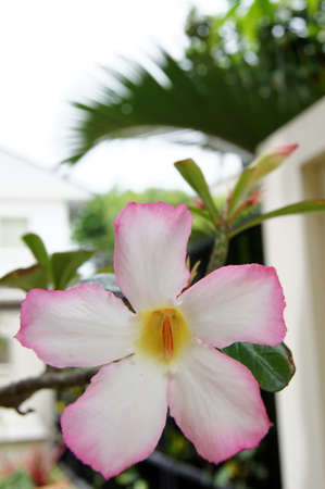 pink impala lily  close up ,Adenium obesum  photo