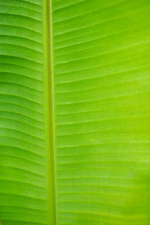 banana leaf: Hoja de pl�tano para el fondo Foto de archivo