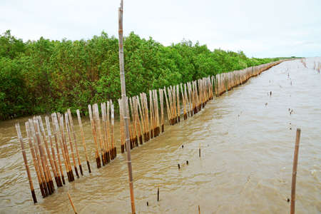 The bamboo fence to protect the mangrove forest