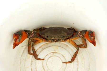 Angry crab in white dirty enamelware                       photo