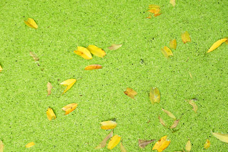 Water surface covered by duckweed and dried leaves for nature background photo