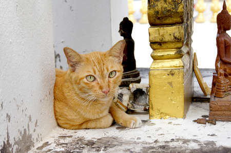 A vagabond cat live in the Buddhist temple