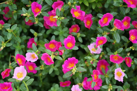 Little hogweed flowers