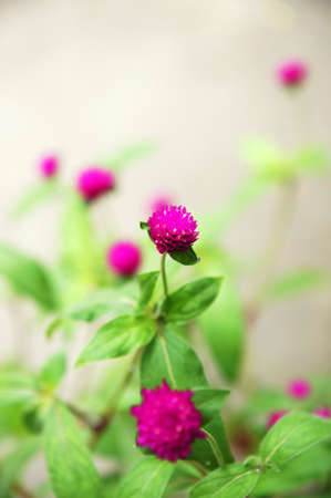 globosa: Globe Amaranth flower or Bachelor Button flower - Gomphrena globosa  Stock Photo