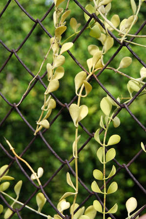 Ant plant climb on the metal wire fence - Dischidia pectinoides Pear photo