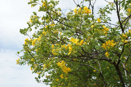Scrambled eggs tree - Cassia surattensis Burm