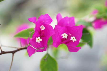 Bougainvillea glabra Stock Photo