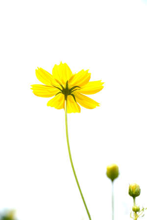 Cosmos flower on white background photo