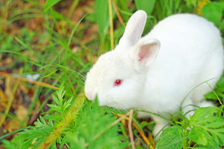 Cute white rabbit with red eye photo