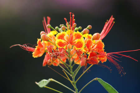 Barbados  Pride , peacock  Flower - Caesalpinia pulcherrima  photo