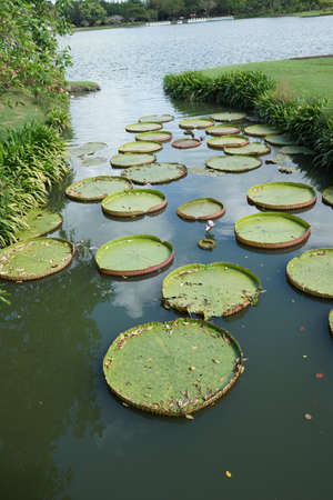 Victoria Regia  - the largest water lily in the world photo
