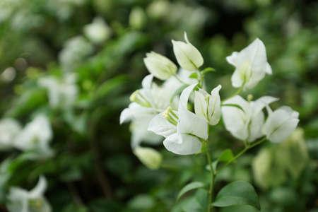 bougainvilleas: White bougainvilleas flower closeup