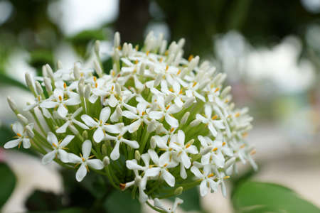 Siamese White Ixora flower photo