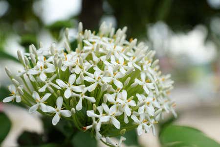 Siamese White Ixora flower
