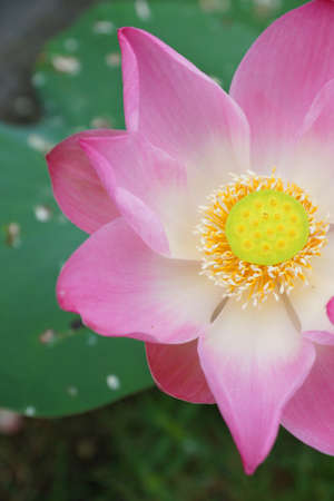 Indian lotus, sacred lotus, bean of India, or simply lotus - Nelumbo nucifera photo