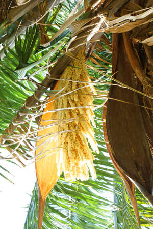 dioecious: Date palm flowers