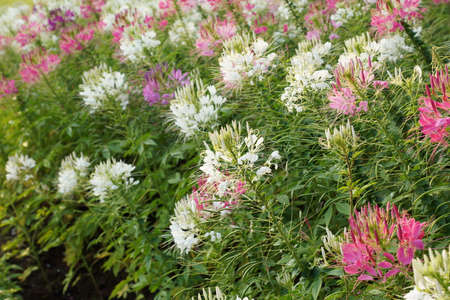 Spider flower plants - Cleome spinosa photo