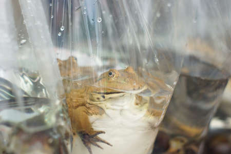 Live frog in the plastic bag for sale photo