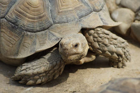 sulcata: Sulcata Tortoise