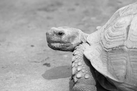 Sulcata Tortoise - Black and White photo
