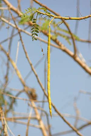 AGASTA vaina en �rbol grandiflora de Sesbania photo