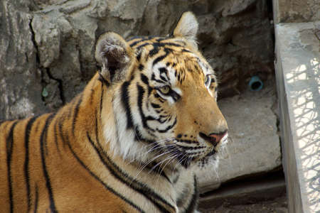 Bengal- or Asian tiger in zoo Stock Photo
