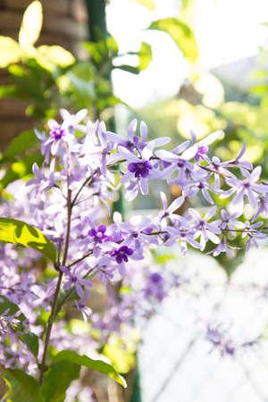 petrea volubilis: Purple wreath flower,sandpaper vine flower  Petrea volubilis L