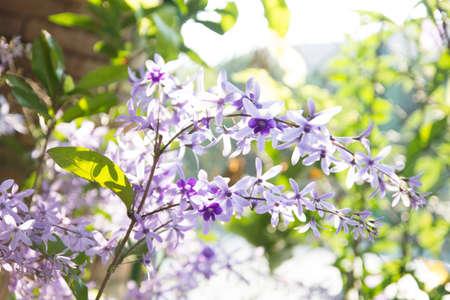 petrea volubilis: Purple wreath flower,sandpaper vine flower  Petrea volubilis L    Stock Photo