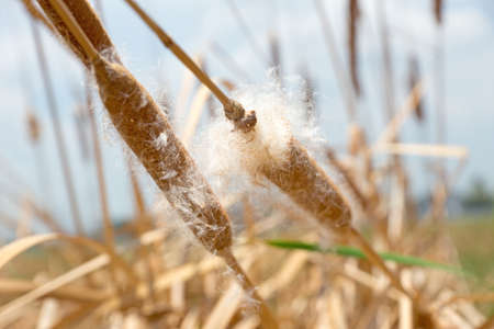 Dry grass flower with flying seeds close-up Stock Photo