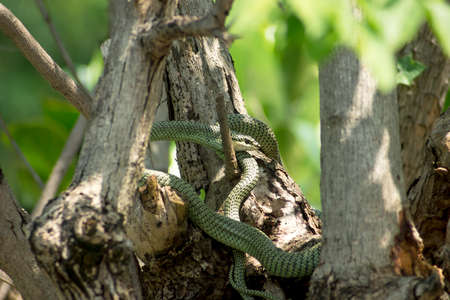 Golden Tree Snake - Chrysopelea ornata - hiding in the trees photo