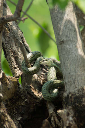 Golden Tree Snake - Chrysopelea ornata - hiding in the trees photo