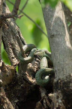 limbless: Golden Tree Snake - Chrysopelea ornata - hiding in the trees
