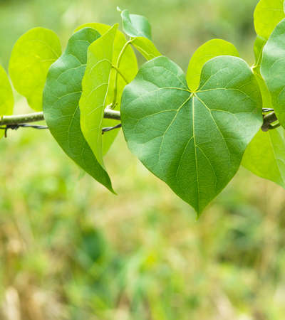 heart shaped leaves: green leaves heart shaped  for nature background