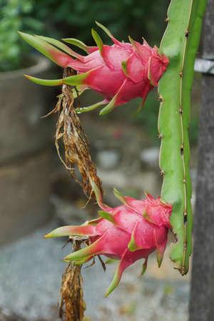brit: Dragon fruit Hylocercus undatusHaw Brit.  Rose. Stock Photo