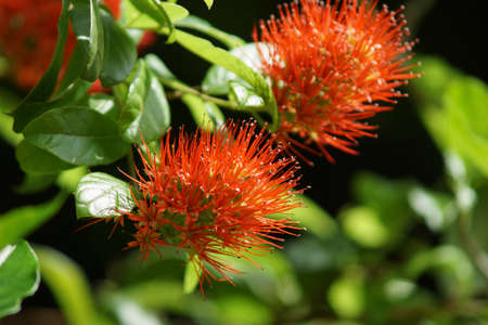 burchell: Combretum erythrophyllum Burchell Sonder. Stock Photo