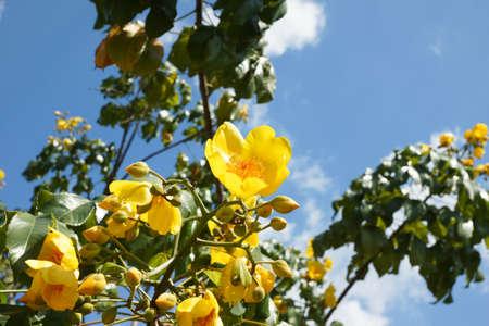 Cochlospermum regium, also known as Yellow Cotton Tree Stock Photo